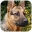 Photo 3 - German Shepherd Dog Dog for adoption in Los Angeles, California - Darcy von Hariton