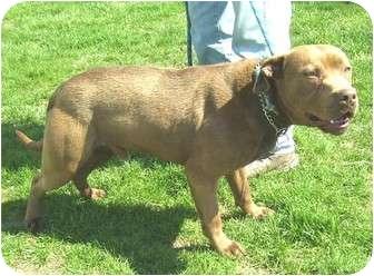 Pit Bull Terrier/Labrador Retriever Mix Dog for adoption in Metamora, Indiana - Taser