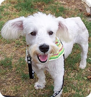 Schnauzer (Standard)/Poodle (Standard) Mix Dog for adoption in Conway, Arkansas - Bentley
