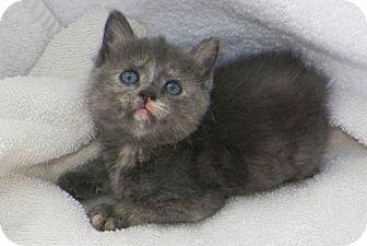 Domestic Shorthair Kitten for adoption in Sullivan, Missouri - Pippy