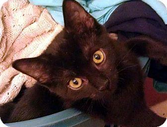 Domestic Shorthair Cat for adoption in Fairbury, Nebraska - Bridget