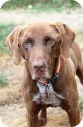 Labrador Retriever/Pointer Mix Dog for adoption in Quilcene, Washington - Hunter