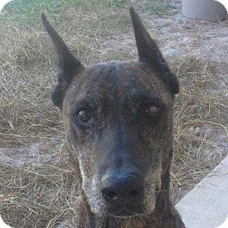 Doberman Pinscher Mix Dog for adoption in Gainesville, Florida - Ebony