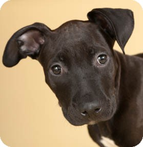 American Pit Bull Terrier Mix Puppy for adoption in Chicago, Illinois - Hershey