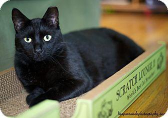Domestic Shorthair Cat for adoption in Worcester, Massachusetts - Grover