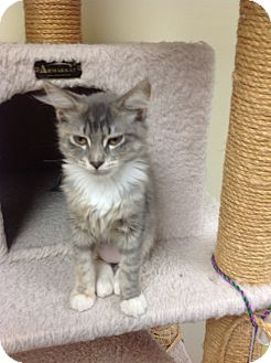 Domestic Longhair Kitten for adoption in Lake Charles, Louisiana - Lindsey