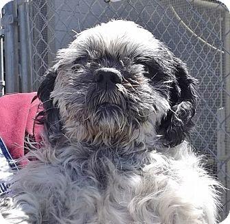 Shih Tzu Mix Dog for adoption in Grants Pass, Oregon - Simon