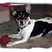 Adopt A Pet :: L'l Man - Chesterfield, VA