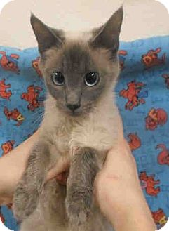 Siamese Cat for adoption in Arcadia, California - Willow
