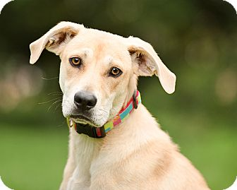 Labrador Retriever Mix Dog for adoption in Wilmington, Delaware - Robin