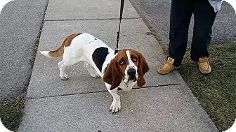 Basset Hound Dog for adoption in Woodstock, Ontario - Steve