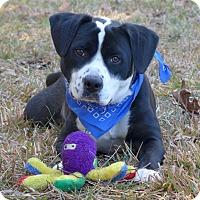 Adopt A Pet :: Rolo - Mocksville, NC