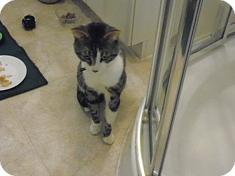 Domestic Shorthair Cat for adoption in Hamilton., Ontario - chaos