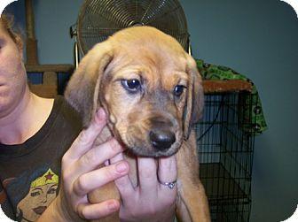 Hound (Unknown Type)/Shepherd (Unknown Type) Mix Puppy for adoption in Phoenix, Arizona - Bambi