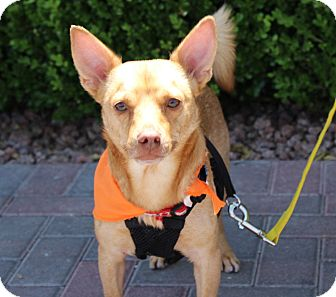 Chihuahua/Terrier (Unknown Type, Small) Mix Dog for adoption in Las Vegas, Nevada - DANNY (CAT FRIENDLY)