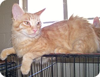 Domestic Mediumhair Cat for adoption in Scottsdale, Arizona - RickyBobby