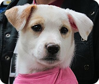 Great Pyrenees/Labrador Retriever Mix Puppy for adoption in Manhattan, New York - Sarah