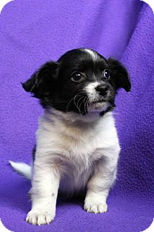 Spaniel (Unknown Type)/Papillon Mix Puppy for adoption in Westminster, Colorado - Jacob