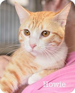 Domestic Shorthair Cat for adoption in West Des Moines, Iowa - Howie
