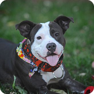 American Pit Bull Terrier Mix Dog for adoption in New York, New York - Precious