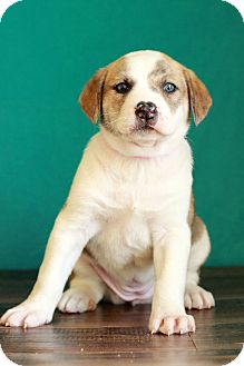 Australian Shepherd Mix Puppy for adoption in Waldorf, Maryland - Spruce
