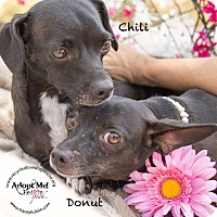 Adopt A Pet :: CHILI - Inland Empire, CA