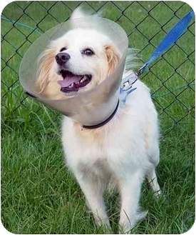 American Eskimo Dog/Spaniel (Unknown Type) Mix Dog for adoption in Cairo, New York - Marilyn