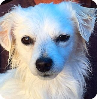 Pomeranian/Husky Mix Dog for adoption in Corona, California - Princess Ethel,  A Puppy.