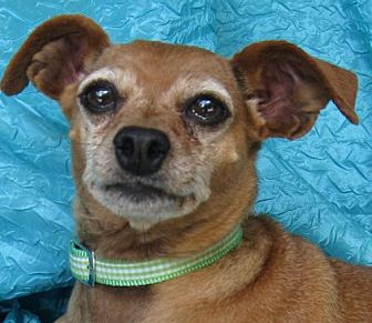 Miniature Pinscher Dog for adoption in Cuba, New York - Brody Spodie