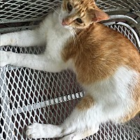 Domestic Shorthair Cat for adoption in Waggaman, Louisiana - Charlie