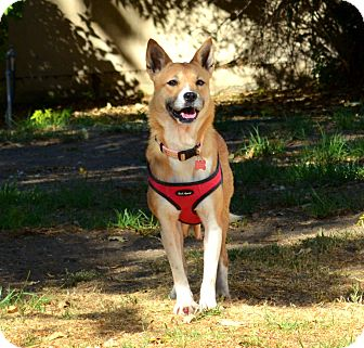 Shiba Inu/Jindo Mix Dog for adoption in Studio City, California - JOJO