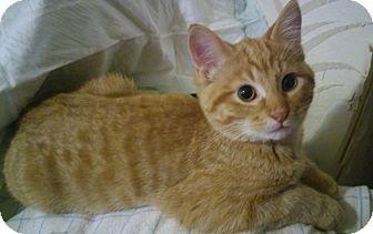 Domestic Shorthair Cat for adoption in Owatonna, Minnesota - Apollo