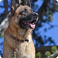 German Shepherd Dog Dog for adoption in Altadena, California - Donner