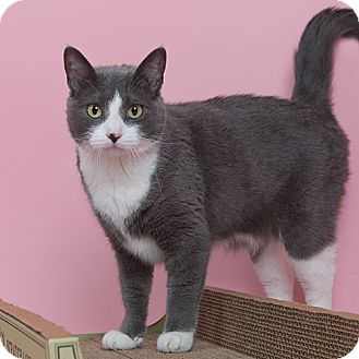 Domestic Shorthair Cat for adoption in Wilmington, Delaware - Friday