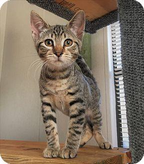 Domestic Shorthair Kitten for adoption in Savannah, Georgia - Bastian