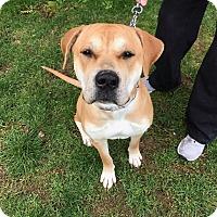 Adopt A Pet :: Nala - Downingtown, PA