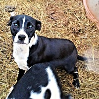 Labrador Retriever/Pit Bull Terrier Mix Dog for adoption in Fredericksburg, Virginia - Jazz