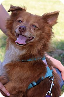 Pomeranian/Papillon Mix Dog for adoption in Winters, California - Benson