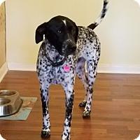 German Shorthaired Pointer Dog for adoption in San Antonio, Texas - Baxter