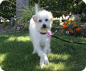 Poodle (Miniature)/Jack Russell Terrier Mix Dog for adoption in Newport Beach, California - RUPERT
