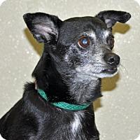 Chihuahua Dog for adoption in Port Washington, New York - Macho