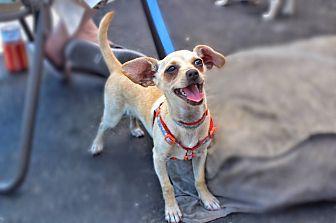 Chihuahua Mix Puppy for adoption in Yuba City, California - Cody