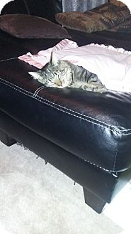Domestic Longhair Cat for adoption in Dover, Tennessee - Diddy