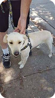 Labrador Retriever Mix Dog for adoption in Deer Park, New York - Marley