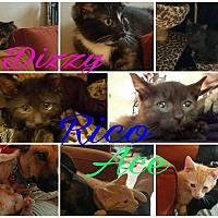 Adopt A Pet :: Dizzy - Randolph, NJ