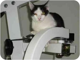 Domestic Shorthair Kitten for adoption in Boca Raton, Florida - Rocky