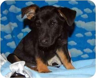 Dachshund Mix Puppy for adoption in Broomfield, Colorado - Geoffrey Beene