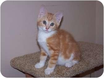 American Shorthair Kitten for adoption in Chester, Virginia - Jason