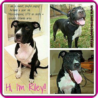 Labrador Retriever Mix Dog for adoption in Orlando, Florida - Riley