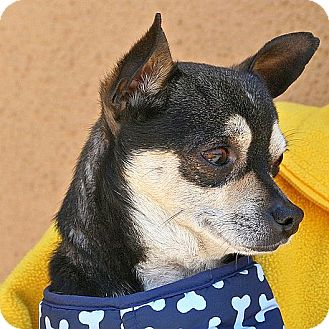 Chihuahua Dog for adoption in Berkeley, California - Pip